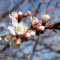 Цветение абрикоса в Армении