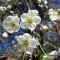 Цветение черешни в Армении