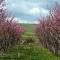 Цветущий персиковый сад в Араратской долине