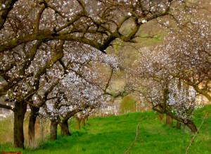 Цветение абрикосового сада в Армении Весной.
