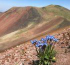 Незабудки на вершине горы Аждаак