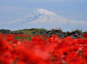 Гора Арарат и поле маков
